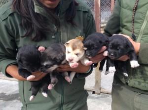 denali-pups
