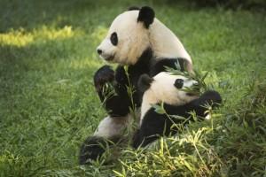 pandas-at-natl-zoo